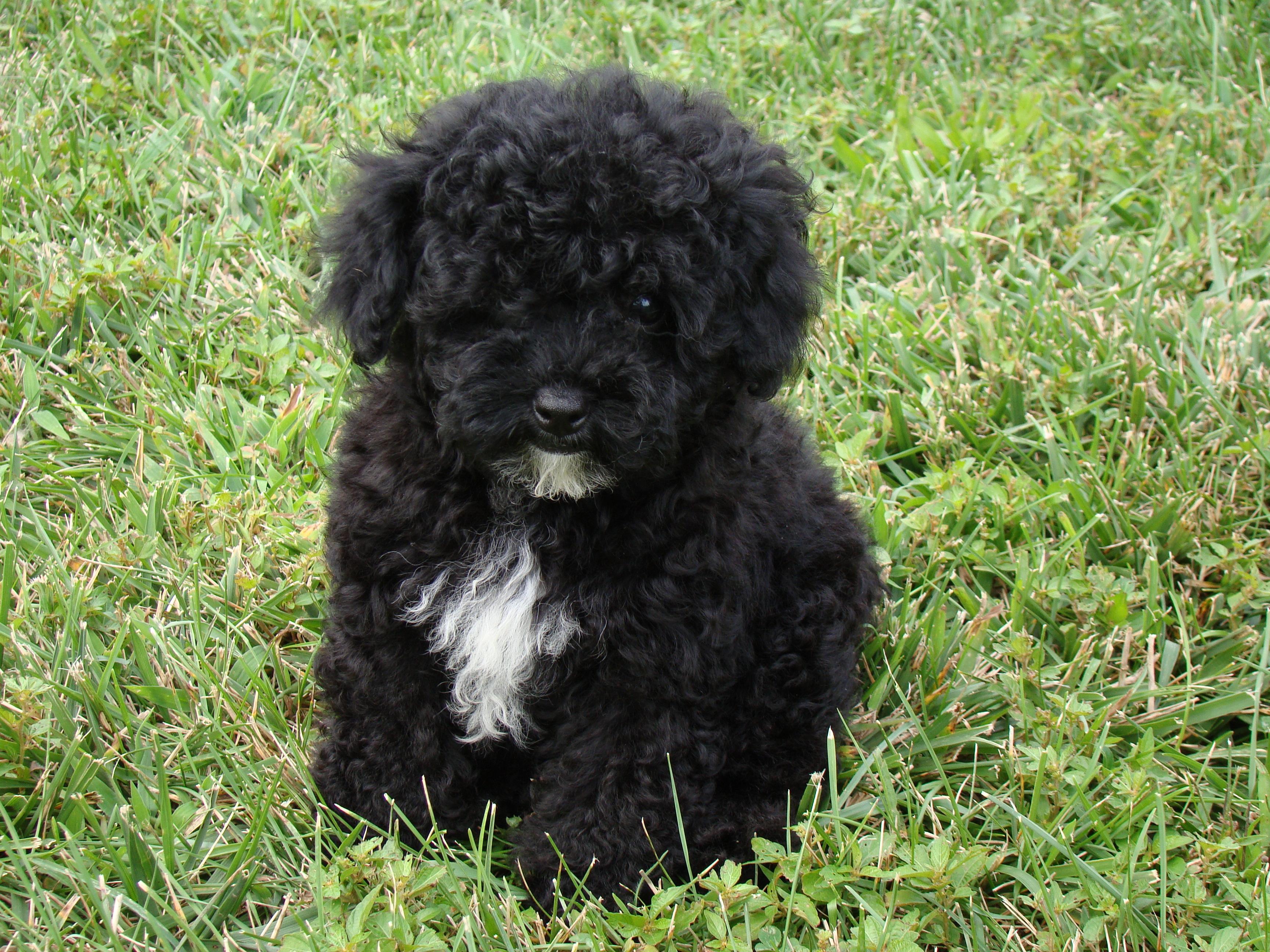 black maltese terrier mix wwwimgkidcom the image kid